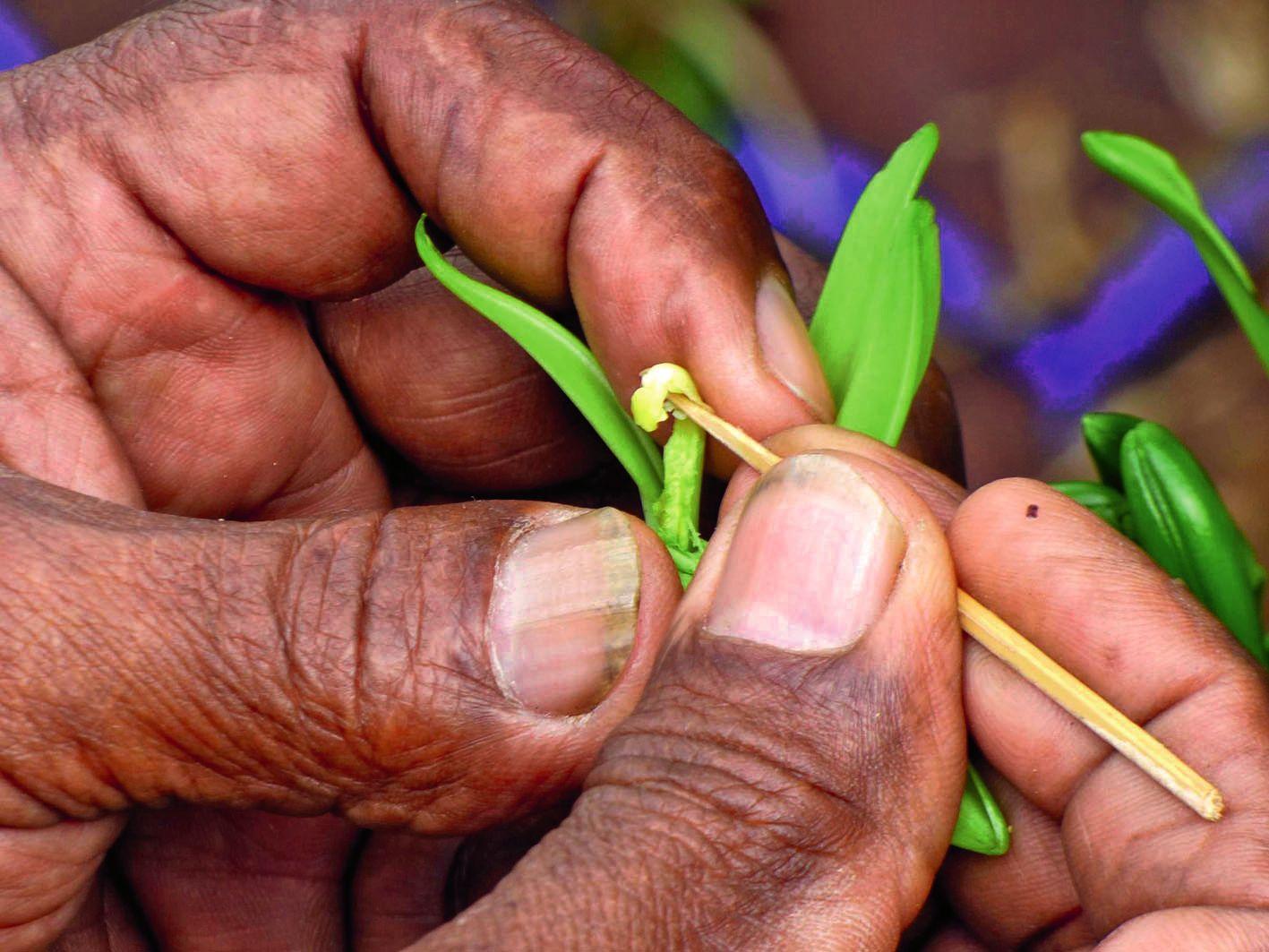 Lues Rokuad, producteur de vanille, a expliqué le principe du mariage de l'orchidée, qui se fait  une fois par an. L'éclosion de la fleur ne dure que quelques heures.