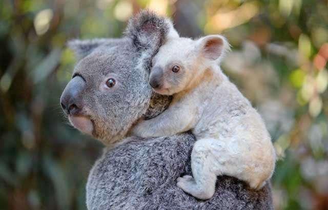 Un koala blanc voit le jour dans un zoo d'Australie