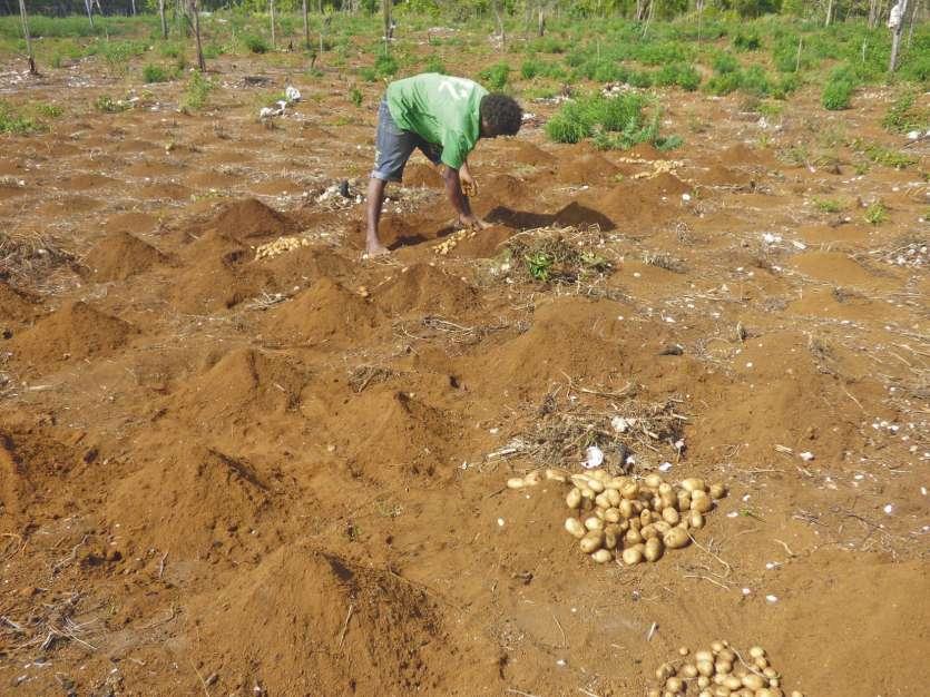 Sur la parcelle collective, les jeunes cultivateurs espèrent récolter près d'une tonne et demie de pommes de terre.