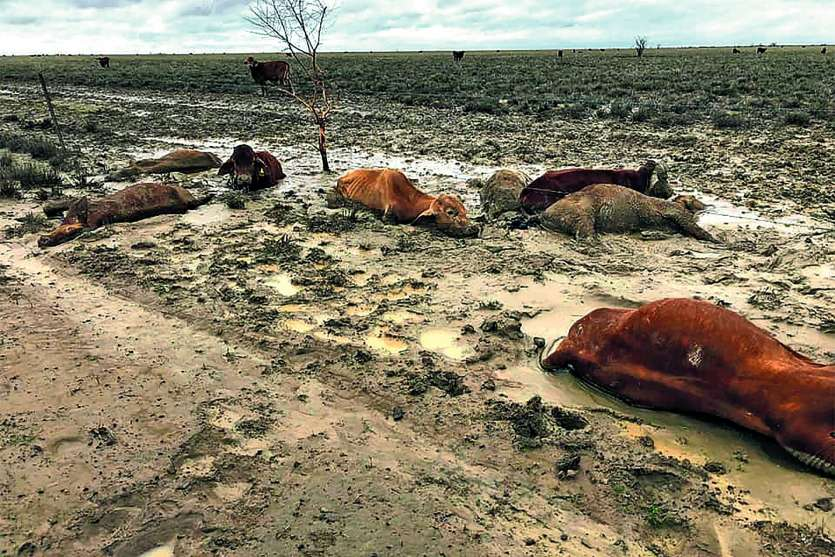 Après une sécheresse exceptionnelle, les inondations record ont provoqué la mort du bétail de très nombreux élevages.       AFP