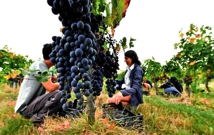 Pendant 40 ans, la vigne française, à l'exception de la bio, s'est gavée de produits chimiques, admettent les responsables viticoles français. Photo Georges Gobet/AFP
