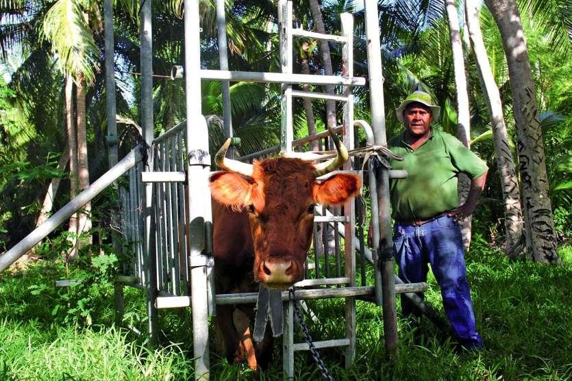 Pour la venue de l'inséminateur, la construction d'un couloir à bovins est obligatoire. Chez Toky Madjele, la structure est installée à l'année. En métal, c'est une des plus solides de l'île.Photos S.M.
