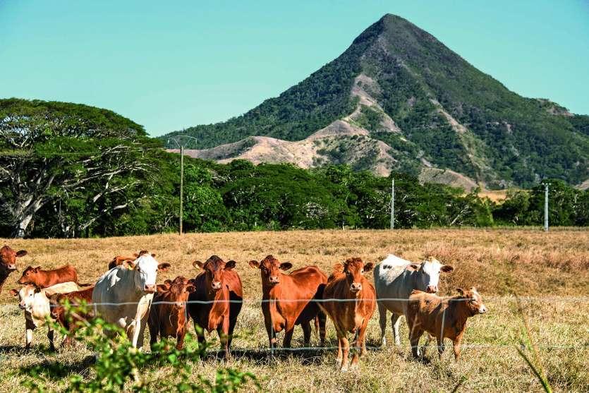 L'élevage bovin représente 24 % des exploitations. C'est la deuxième activité principale déclarée après les cultures pérennes (28 %).Photo Archives LNC