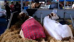 Salon de l'Agriculture: le vétérinaire entre