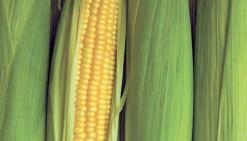 Des OGM «cachés» en Calédonie