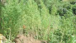 Cent onze pieds de cannabis arrachés à Thio
