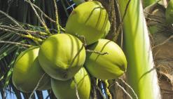 Sauver le cocotierpour assurer l'avenir