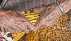 Vers une interdiction totale des OGM fin 2016