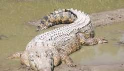 Attaque de crocodile : sauvé de justesse