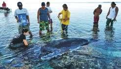 Le baleineau échoué n'a pas survécu