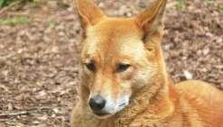 Le scandale des dingos tueurs empoisonnés