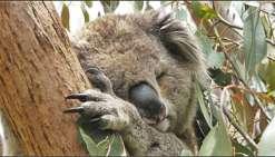 Les Koalas du Noosa National Park en danger