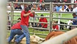 Marquage au fer rouge du bétail : la Foire de Bourail visée par une plainte