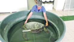 Soignée, la tortue Marvin va retrouver la mer