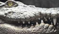 Faut-il chasser les crocodiles géants ?