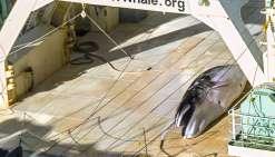 Un baleinier japonais pris sur le fait