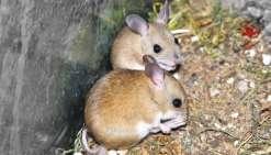 Invasion de souris dans le sud du pays