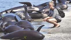 Des centaines de baleines meurent échouées sur l'île du Sud
