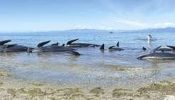 Nouvel échouage massif de baleines pilotes