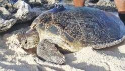 Sur la piste des tortues vertes