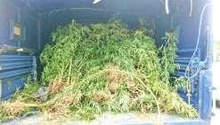Plus de 1 500 plants de cannabis détruits