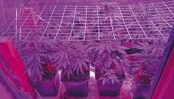 Le cannabis était planté dans un engrais de bonne qualité, arrosé régulièrement par un système automatique et éclairé par des lampes à UV.
