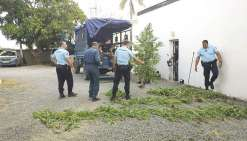 Les gendarmes vont à présent procéder à la destruction de tous les plants qui viennent d'être arrachés près de la tribu Noelly.