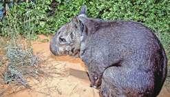 Un bébé wombat, fierté du Queensland