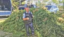 Près de 4 000 pieds de cannabis arrachés à Houaïlou