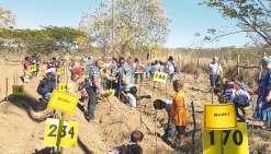 La dernière étape a été la plantation sur les billons d'ignames.