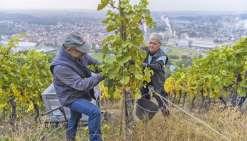 La production viticole en baisse à cause du climat