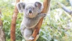 Un Koala retrouvé mort les oreilles coupées