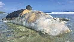 Un cachalot de 20 tonnes échoué sur le récif