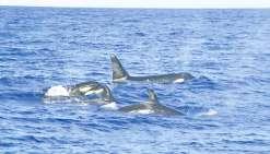 Des orques aux Marquises