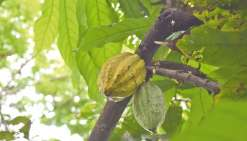 Au Vanuatu, il n'y a qu'un pas de l'arbre à l'étal. Pour le cacao (à droite), produit de valeur, l'association Activ  encourage les producteurs à améliorer la qualité et en tire maintenant des chocolats noirs haut de gamme.