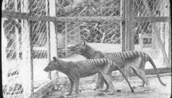 Le tigre de Tasmanie était voué à disparaître