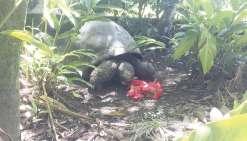 Les obsèques de la tortue Te Ara tau