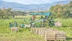 Le développement de l'agriculture, ici une récolte de squash à Bourail, est un enjeu  stratégique pour l'autonomie alimentaire de la Nouvelle-Calédonie.