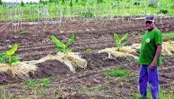 Guy Kombouaré dans le champ de l'Association des agriculteurs de l'île des Pins, qu'il préside. Situé sur le plateau central de Kunié, le champ permet notamment de cultiver en commun des produits qui permettront de lever des fonds pour l'association. Phot