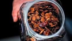 Pour l'heure, le lait de blatte est encore un projet mais il est possible  de croquer des insectes dans certains restaurants de Sydney.Photo AFP