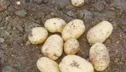 Au secours des pommes de terre