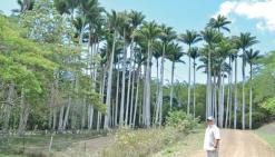 Le roi des palmiers de la Ryawa