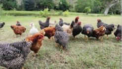 La poule retrouve ses œufs