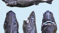 La famille des requins « s'agrandit »