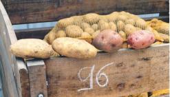 Les maraîchers se tournent vers la pomme de terre française