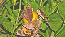 Attaque massive de papillons piqueurs sur les agrumes
