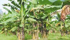 La tradition au secours de la banane