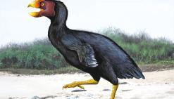 Sylviornis, un énigmatique oiseau disparu au temps du peuple Lapita
