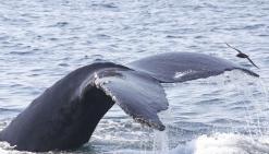 Les baleines livrent quelques mystères