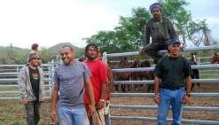 Premières captures  de chevaux à Pinjen